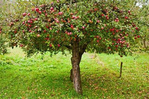 Яблоня – описание, посадка, уход